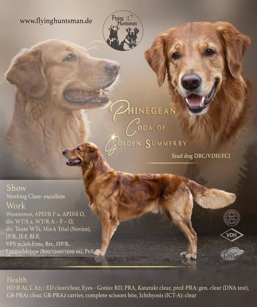 Phinegean Coda of Golden Summerby - Stud dog in the DRC (German Retriever Club) VDH/FCI